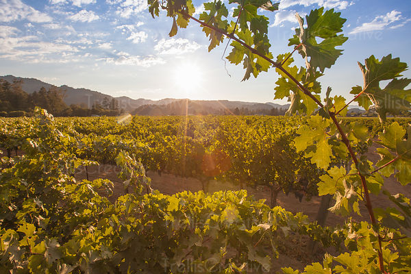 Hayne Vineyard, St. Helena, add to stock, California, Napa Valley, Oakville