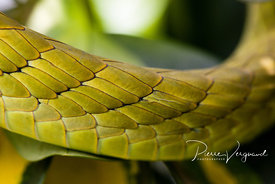 ecailles-photo de serpent-et-reptiles-pierre vergnaud-45