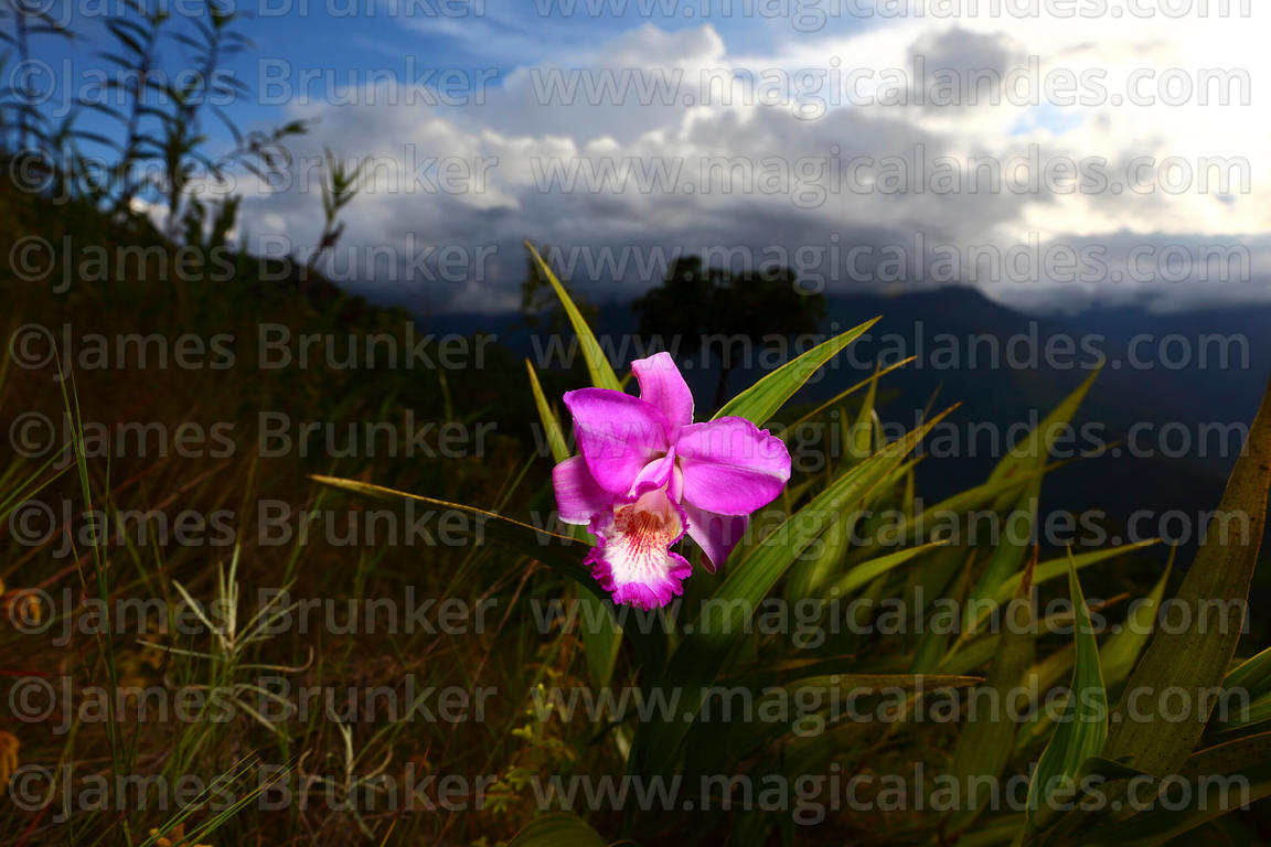 Sobralia genus orchid growing on hillside near Coroico, North Yungas Province, Bolivia