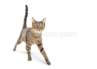 Tabby Cat Walking Forward on White