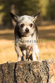 little worried senior Chihuahua dog stands atop a tree stump