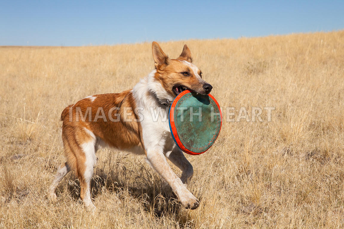 dog walking with frisbee in mouth outdoors