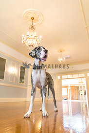 Majestic great dane indoors with a chandelier