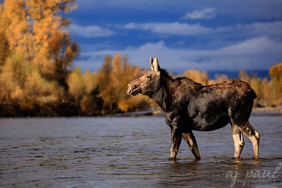 Rivermoose