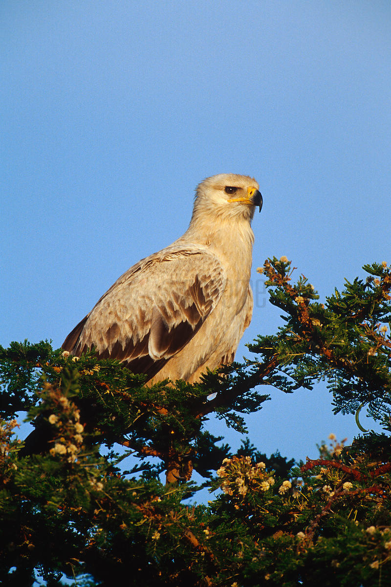 Tawny Eagle Perched in a Tree