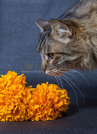 Main Coon smelling on traditional days of dead flower decoration