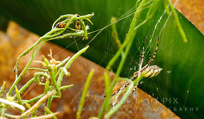 Ladybirds on a plant with a garden spider in a web