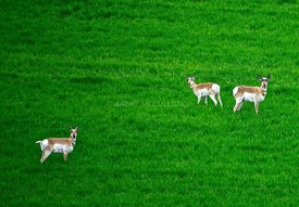 Three antelope in green wheat facing