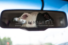 Black and White dog looks in car rear view mirror during a ride