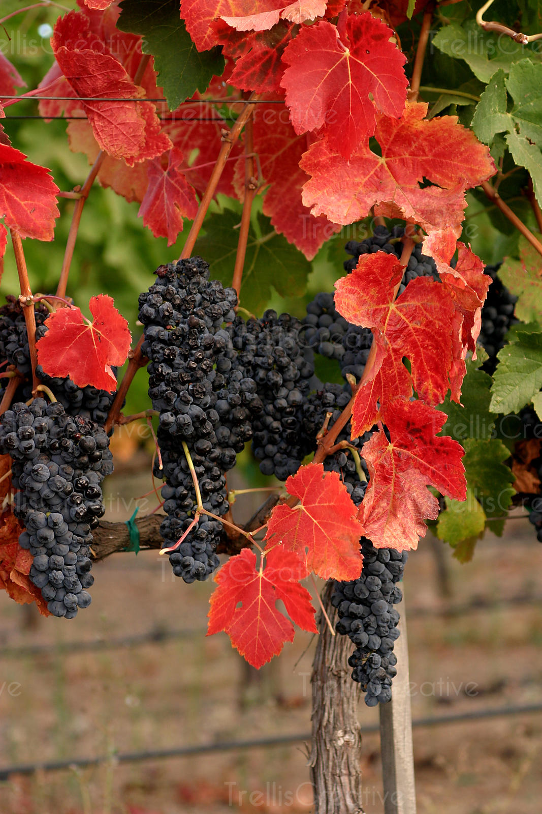 Pierce's disease turns merlot vineyard canopy leaves red
