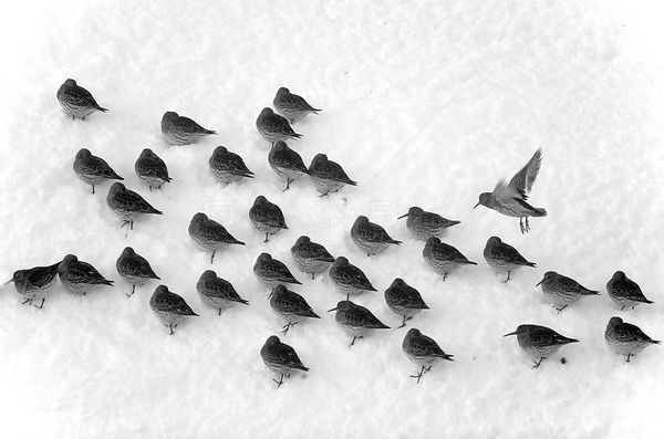 Flock of Purple sandpipers (Calidris maritima) in snow, aerial view, Batsfjord, Finnmark, Norway, February.