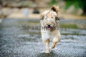 fluffy dog running in water