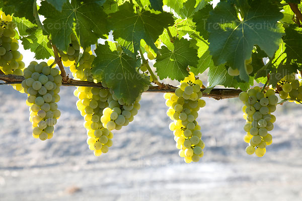 Clusters of ripe sauvignon blanc grapes hanging on the vine