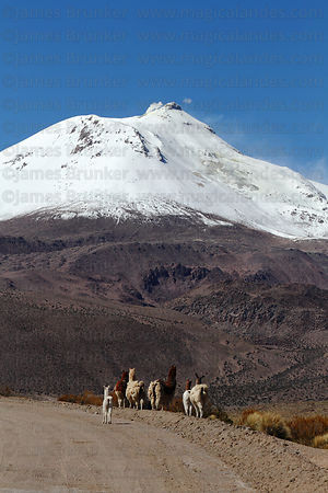 Llamas ( Lama glama ) walking along dirt road in front of active Guallatiri volcano , Las Vicuñas National Reserve , Region X...