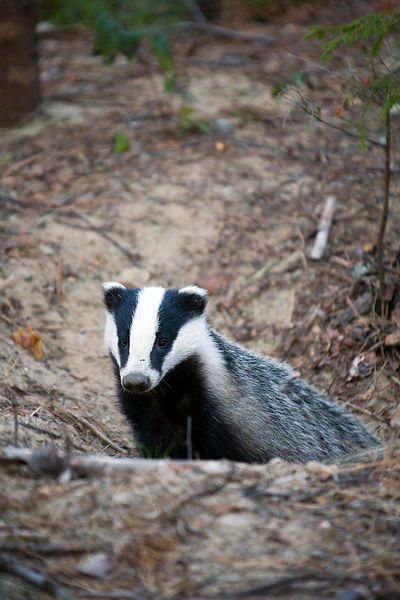 The European Badger