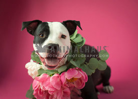 Black and white Pit bull with big fresh flowers around neck on pink