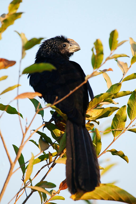 Smooth-billed Ani, Transpantaneira Highway, Pantanal, Mato Grosso, Brazil