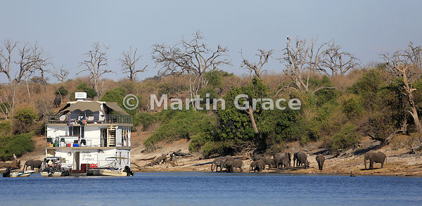 Pride of the Zambezi tourist riverboat with elephant herd on the shore of the River Chobe and two African Fish-Eagles in the ...