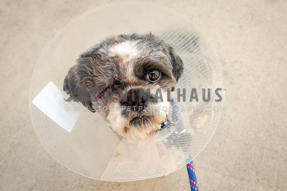 Dog-Missing-Eye-After-Surgery-in-Cone