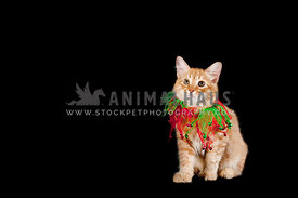 Yellow Kitten with Holiday Ribbons Isolated on Black