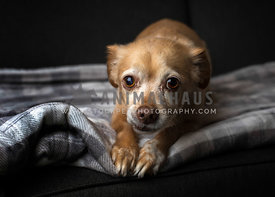 Frightened chihuahua dog lying on a blanket  throw
