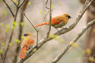 Buffy Laughingthrush Couple