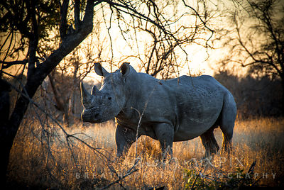 White rhinocerous in bushveld at sunset, walking side on to viewer