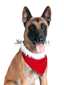 German Shepherd Dog with Holiday Scarf