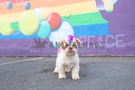 shih tzu with rainbow colored mohawk and tail