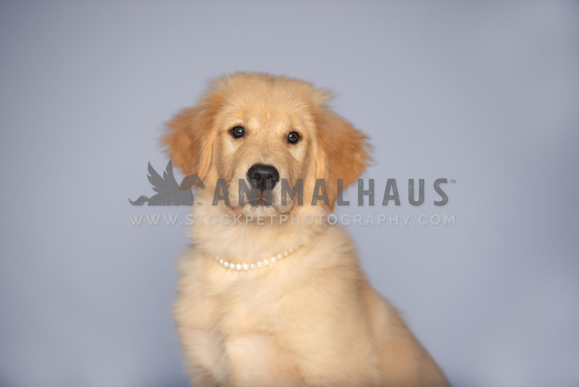 close up of golden retriever puppy wearing pearl collar