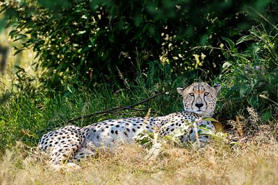 Cheetah Lying in Bushes in Kenya