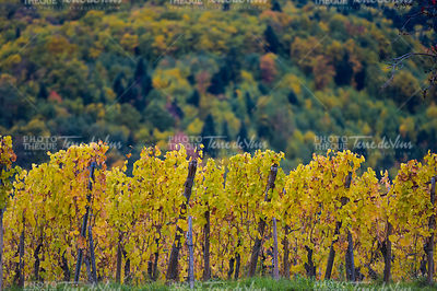 The yellow vines in the fall, Alsace, France