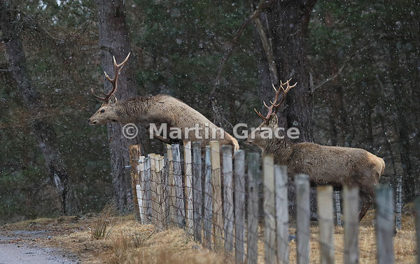 Red Deer stag (Cervus elaphus) jumping over a field fence in light falling snow, Badenoch & Strathspey, Scottish Highlands