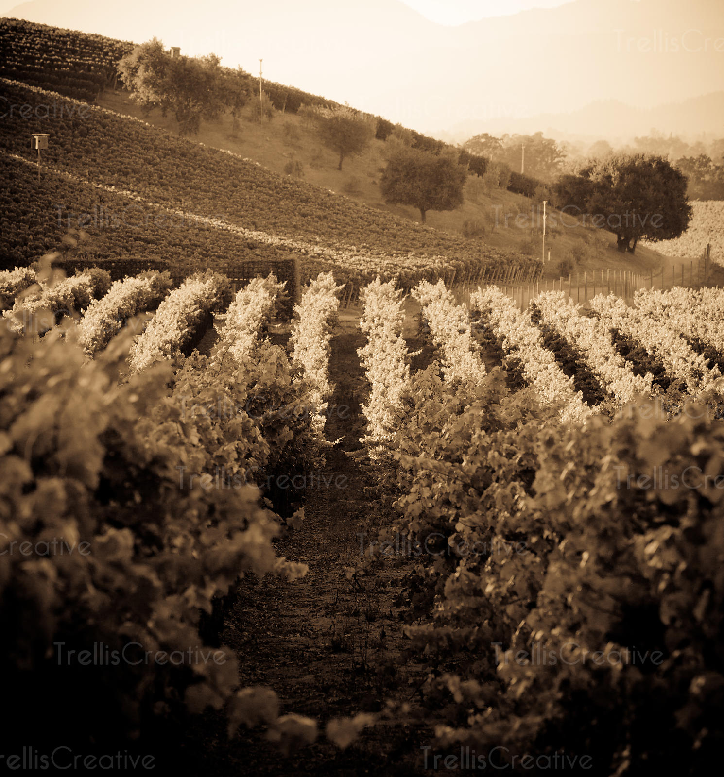 Black and white photo of the evening summer sun blanketing a Napa Valley vineyard
