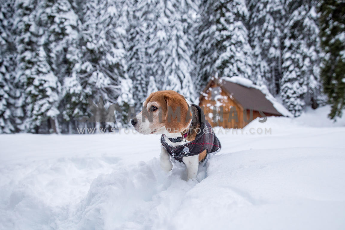 Small dog wearing coat in deep snow during winter