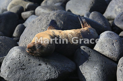 Galapagos Sea Lion pup (Zalophus californianus wollebacki or wollebaeki) sleeping among the rocks at Punta Suarez, Espanola, ...