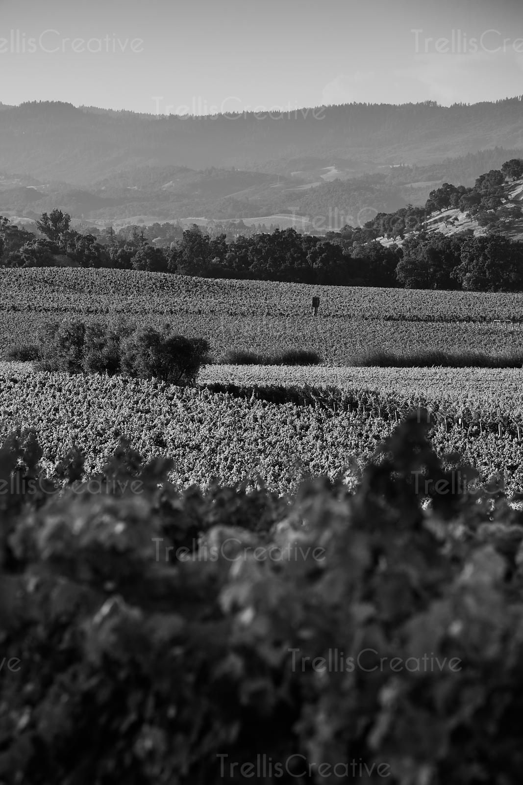 Looking across a sun covered Yountville vineyard in the Napa Valley