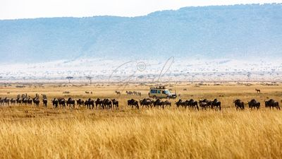 Wildebeest and Zebra Tourist Safari Drive
