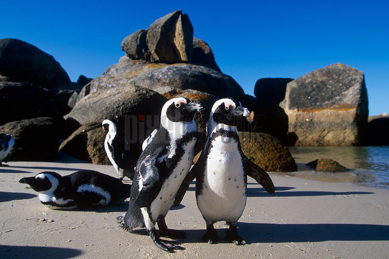 Jackass Penguins on Boulders Beach