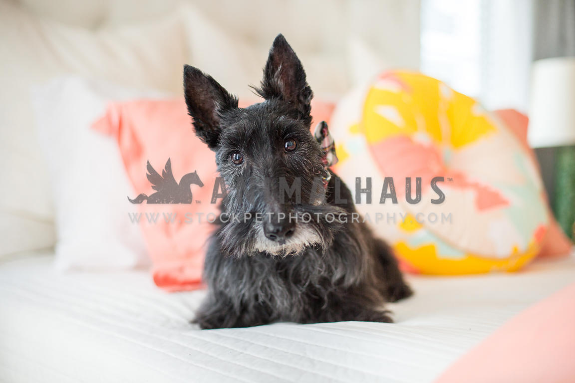 Black older Scottish Terrier dog sits on an elegant bed