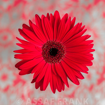 Close-up of pink Gerbera daisy on patterned background