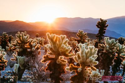 Cactus garden, Joshua Tree National Park, USA