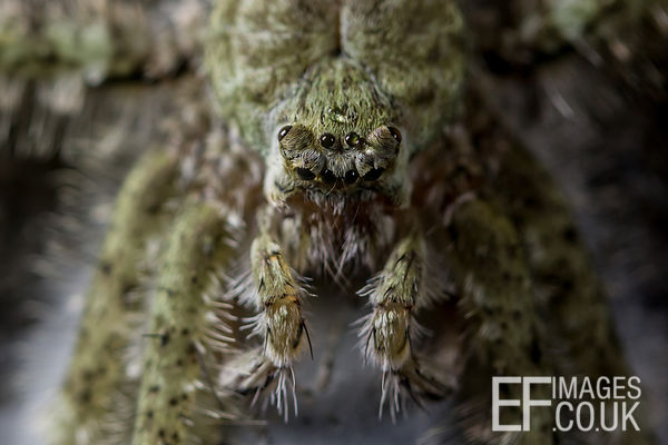 Lichen Spider Camoflaged In The Daintree Rainforest, Close Up With Eyes