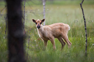 About two months old wild forest reindeer calf