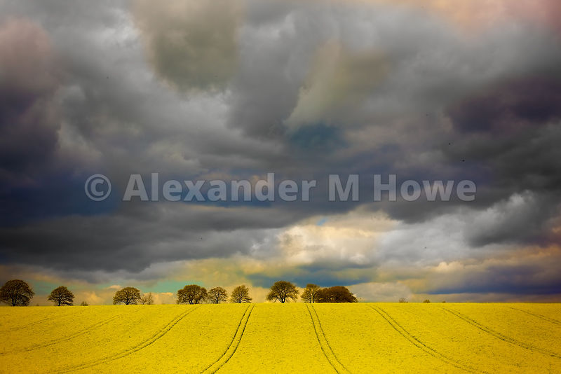 Oilseed Rape Growing in Fields, Oilseed Rape Growing in Fields with Dramatic Clouds