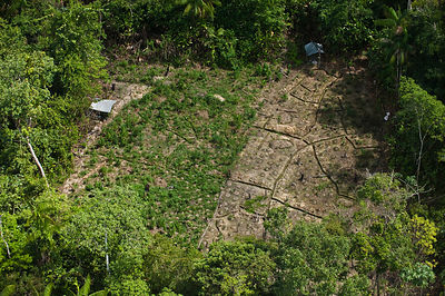 Aerial view of fields of Marijuana grown in the rainforest, Guyana, December 2009