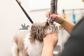 Small Breed Dog Getting Clipped