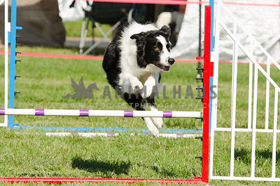 black & white border collie running  and jumping an agility course