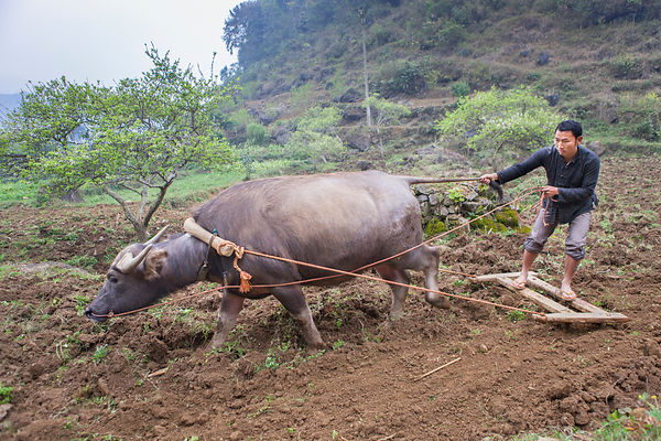 Homme labourant derrière un buffle, Bac Ha, Vietnam / Man plowing his fields with a buffalo, Bac Ha, Vietnam