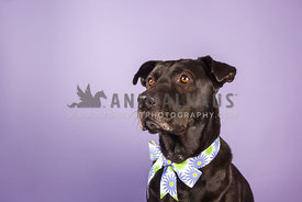 black dog in studio with purple background and bow